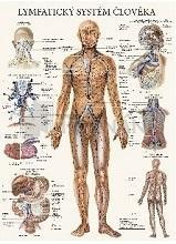Lymfatický systém človeka