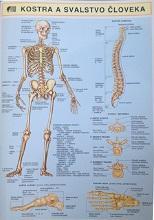 Kostra a svalstvo človeka A4